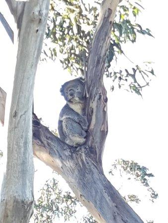 Kennett River, أستراليا: koala sauvage