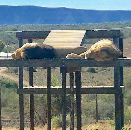 Kirkwood, Republika Południowej Afryki: Chuck and Norris - all grown up