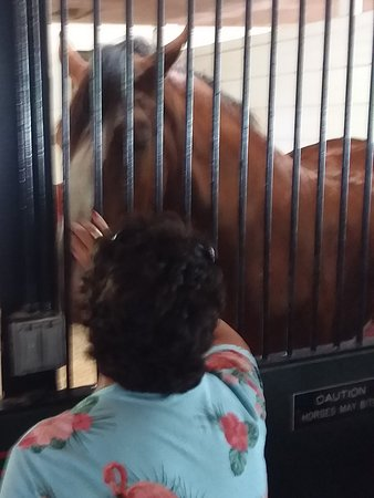 Petting a Clydesdale!