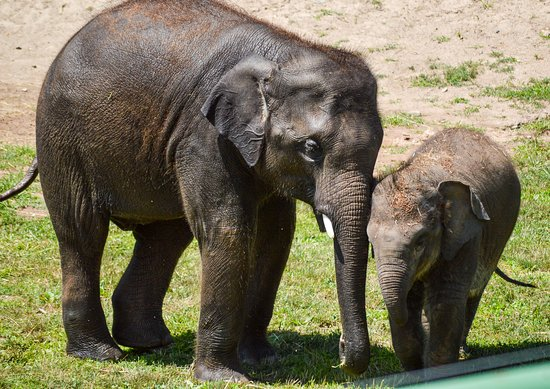 "Syracuse, NY: Brotherly love: 4-year-old Asian elephant Batu nuzzles his baby brother, Ajay (""Ah-JYE"") at the Asian elephant preserve."