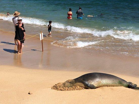 Monk Seal on Poipu Beach!