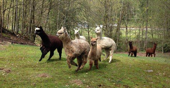Huacaya alpacas at Alpacas from MaRS in Snohomish, WA