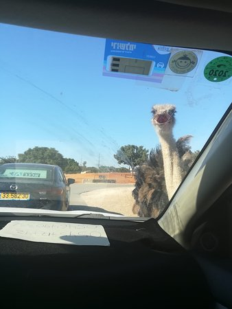 Close Encounters of the Ostrich Kind
