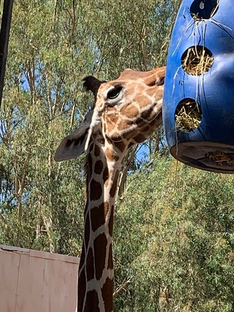 Geraldine-Gennifer the Giraffe with her two friends- elegant even without her pearls and necklace.