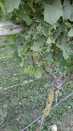 Langham Wine Estate Vineyard