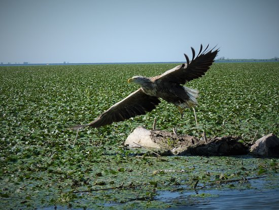 Murighiol, โรมาเนีย: White-tailed-Eagle in our Wildlife Boat Tour.