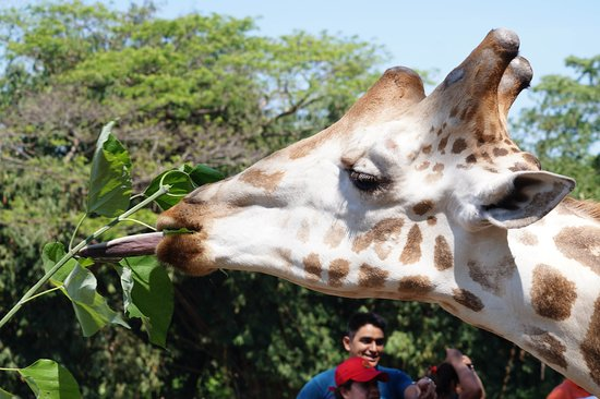 Escuintla, Guatemala: Alimenta a las jirafas
