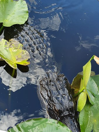 Everglades Airboat Private Nature and History Tour: gator