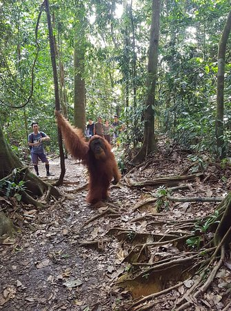 Bukit Lawang, Indonesia: really an amazing and extraordinary adventure.  we traveled 3 days 2 nights in Gunung Leuser National Park Forest.  and we found many wild animals in it.  one of them is a big orangutan male in the forest.  very lucky to be able to see it directly in its natural habitat. .... #sumatra #bukitlawang #jungletrekking #adventure #in #nationalparkgunungleuser #bigmaleorangutan #wildlife #wildanimals #wildnature  #orangutan #orangutansintheirnaturalhabitat #goodadventure #goodtime #goodvibes  #goodtrip