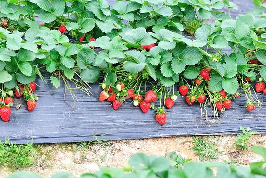 Strawberry Picking, Nami Island, Petite...