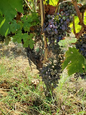 Grapes prior to ripening for harvest