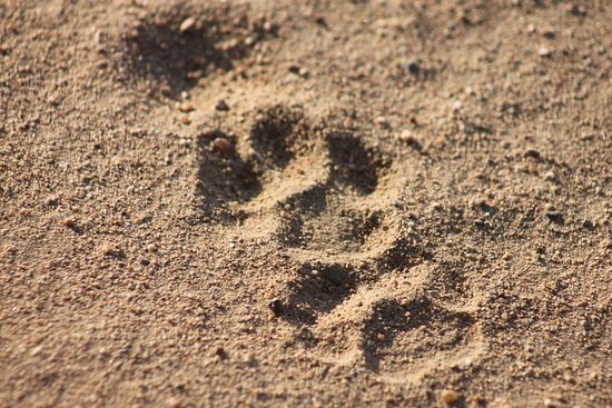 Kruger Nationalpark, Sydafrika: Learn about the little things, and bush lore. Tracks and signs, habitat management and the night skies.