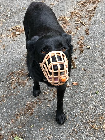 Cosheston, UK: The local dog and the cherry tomato