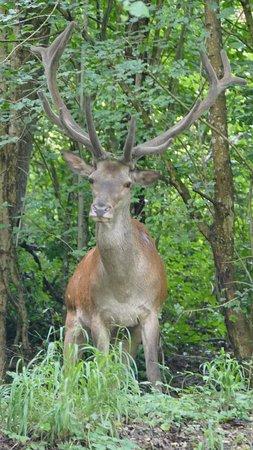 Bukkosd, Ungarn: Prachtig Hert