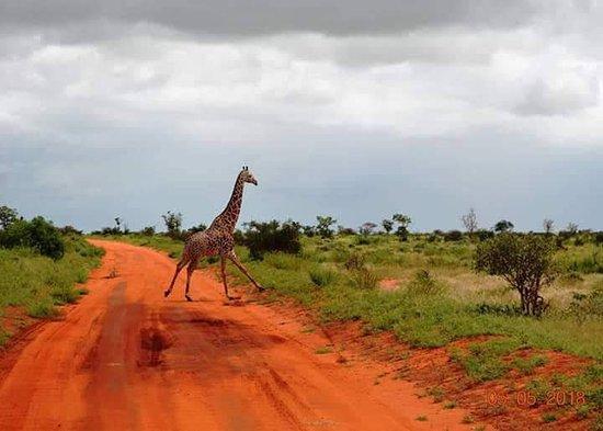 Национальный парк Цаво Восток, Кения: giraffe
