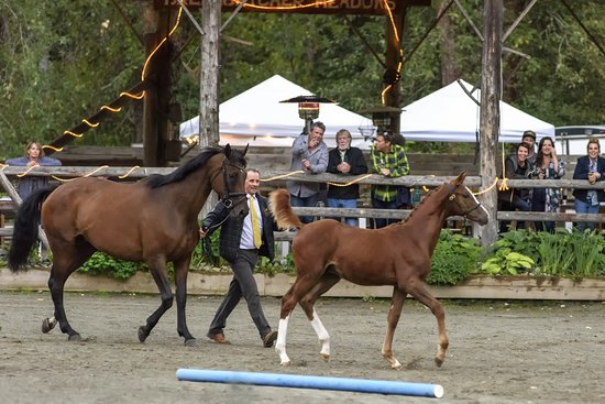 Annual Hanoverian foal inspection with judging and explanation by judge from Germany Hannoveraner Verband, our horse breed head organization. Current years foals strut their stuff to earn their official entry to the Hanoverian Studbook or Breeding Registry.