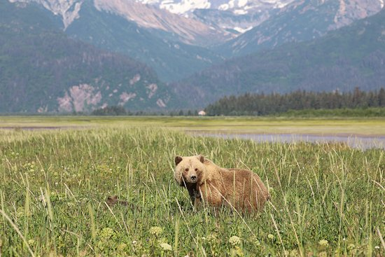 Classic Bear Visning Tour: A bear and her cubs walking through the grass