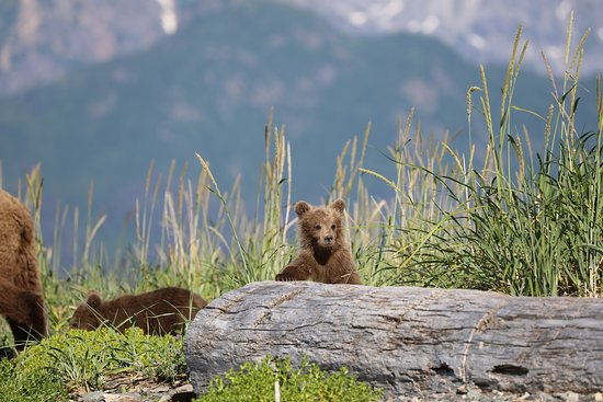 Classic Bear Visning Tour: The cubs are adorable!