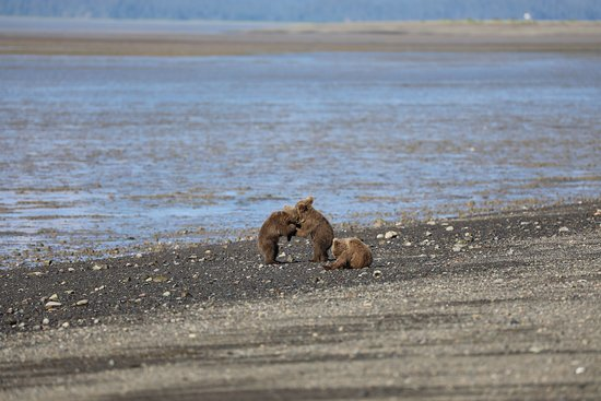 Classic Bear Visning Tour: Cubs playing together