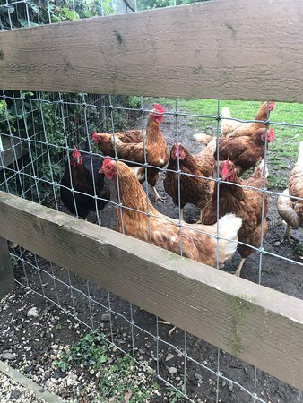 These lovely chickens will provide fresh eggs for breakfast