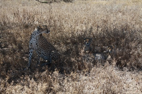 Back To Africa Tours & Safaris: Cheetah with cubs