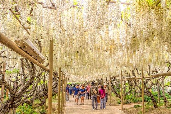 Ashikaga Flower Park Illumination Admission Ticket: In the white wisteria tunnel