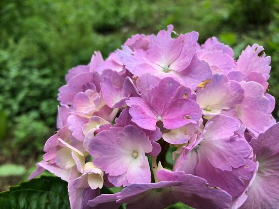 Hunter Mountain Yuri Park: 紫陽花