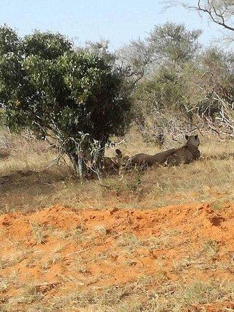 Tsavo National Park East, Kenya: Lions resting