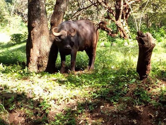 Tsavo National Park East, Kenya: Buffaloes