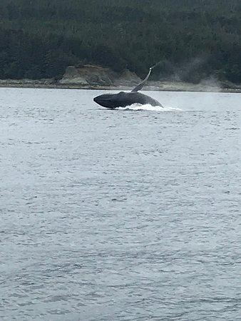 Breaching Whale Photo- amazing!