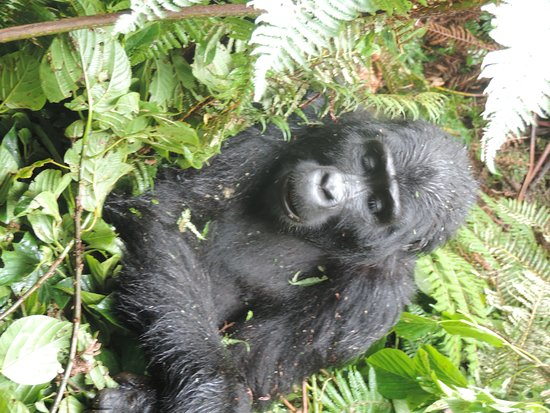 Bwindi Impenetrable National Park, Uganda: visit the mountain gorillas in bwindi with afrik gorilla safaris