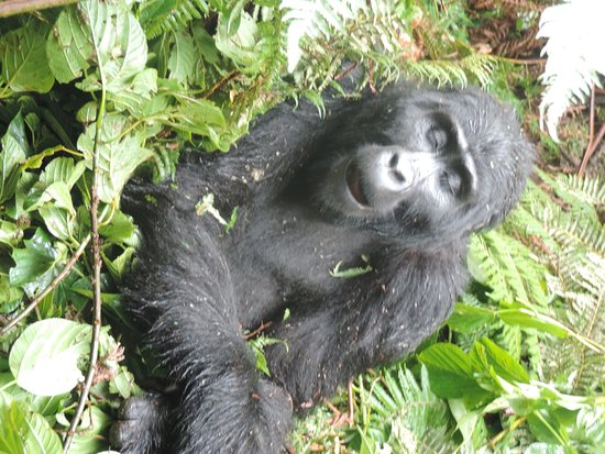 Bwindi Impenetrable National Park, Uganda: a mountain gorilla posing for our pictures in bwindi