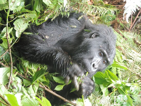 Bwindi Impenetrable National Park, Uganda: enjoying a meal. visit these giants with afrik gorilla safaris