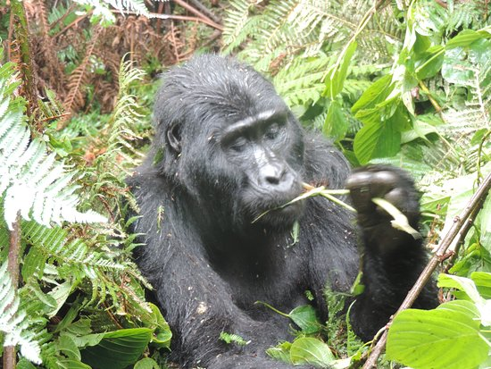Bwindi Impenetrable National Park, Uganda: mountain gorillas in bwindi