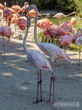Flamingos kissing