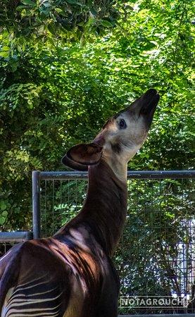Okapi eating