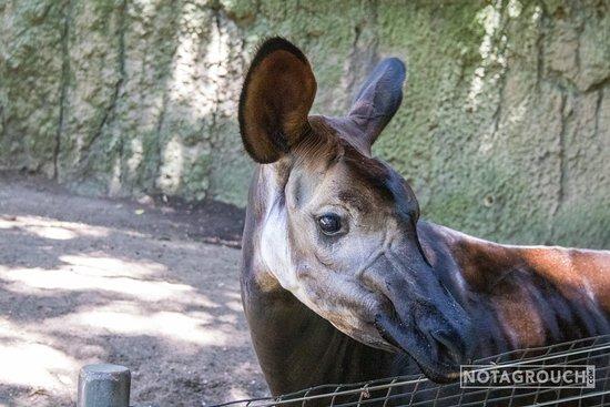 Okapis are cool