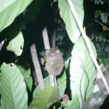 Central Sulawesi, Indonezja: Tarsier..one of the sulawesi animal...to ackses contack me on WA.+6285340813366 or..syansudinmananta051@gmail.com