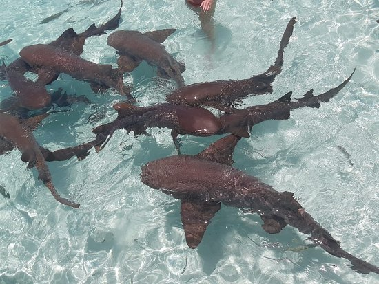 Swimming with nurse sharks at Compass Cay, Exuma, Bahamas.