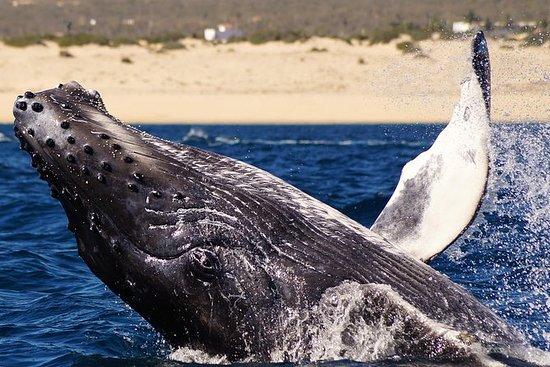 Avvistamento di balene megattere a