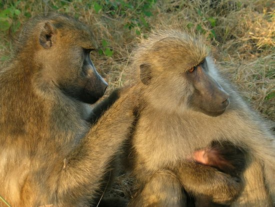 Mabira, ยูกันดา: Baboons are terrestrial (ground dwelling) and are found in open savannah, open woodland and hills across Africa. Their diets are omnivorous: they eat insects, fish, shellfish, hares, birds, vervet monkeys, and small antelopes. They are foragers and are active at irregular times throughout the day and night. They can raid human dwellings, and in South Africa, they have been known to prey on sheep and goats.#why hold the tour pleasures back #explore #uganda #adventure #CATHIE TOURGUIDE UG