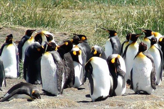 Tierra del Fuego - King Penguin