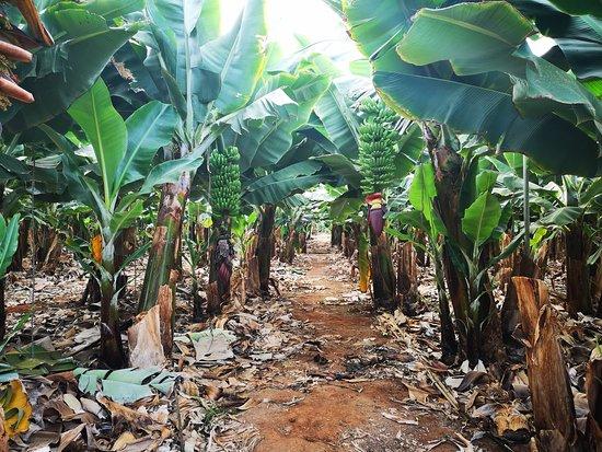 Nuestra excursión Sabores y Vinos te introduce en la cultura del vino de Tenerife y además aprenderás parte de la agricultura tradicional canaria, como es el cultivo de plátanos.