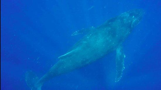 Mounu Island, Tonga: Photo taken while whale swimming!