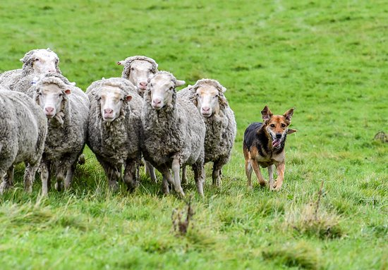 An authentic experience with real working dog and we welcome you to pat our dogs and sheep.