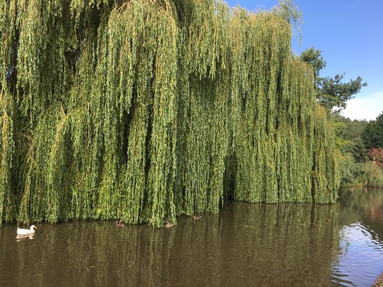 Hopwas, UK: Birmingham and Fazeley Canal. Lovely weeping Willow tree hanging in the canal.