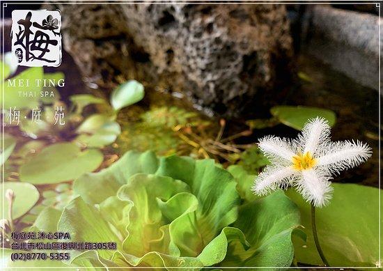 台灣松山: 「一念心清淨,處處蓮花開」 蓮花出汙泥而不染,清靜自在。 這也意味著一個無法改變的世界裡 清者自清,濁者自濁,君子和而不同。  拍攝於店外池塘的一角 取自外面池塘裡的印度小白蓮 因為它開花時間非常短暫 又名一夜蓮  生命昰短暫的 人的一生就如白駒過隙 時間不可倒轉 我們只能在有限的生命裡綻放無限的光彩 把握當下,學習放慢腳步的欣賞 用心去活,善待自己來提升生活的品質 『沐心、慢活、放鬆、聆聽』