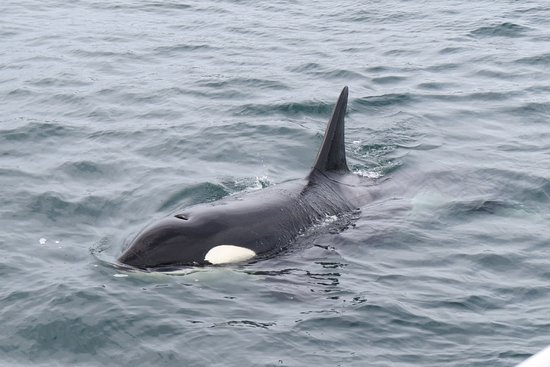 Whale Watching & Butchart Gardens: One of the adult killer whales