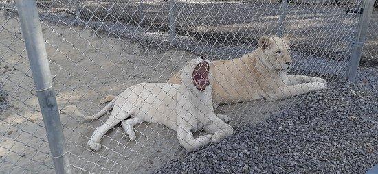 des lions blancs