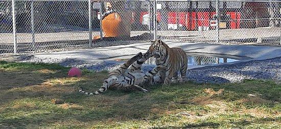 les tigres s'amusent... Dans leur enclos !